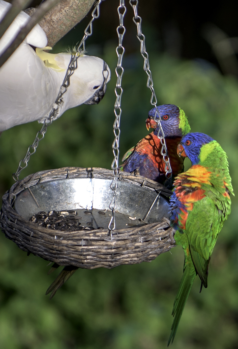 Wild Sulphur-crested cockatoo & Rainbow Lorikeets negotiate the last of the seeds
